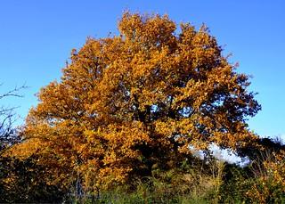 Autumnal Oak Tree on Tiptree Heath