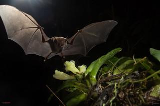 Common Long-tongued Bat(Glossophaga soricina) feeding from orquid flower