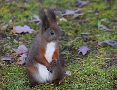 Squirrel (eowina) Tags: squirrel animals park nature