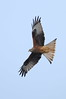 Red Kite (cooky1959) Tags: redkite kites wales nantyrarian ceredigion
