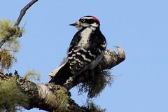 Downy Woodpecker (rwkphotos) Tags: novascotia canada downywoodpecker picoidespubescens