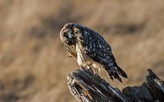 Short-eared Owl (nickinthegarden) Tags: shortearedowl boundarybay deltabccanada