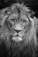 African Lion (Mathias Appel) Tags: african lion afrikanischer duisburg löwe lazy faul cat katze animal tier zoo tierpark grass raubtier predator carnivore fleischfresser fleisch meat dinner eyes tiere animals nikon männlich männchen male mane black white bw d7100 schwarz weis