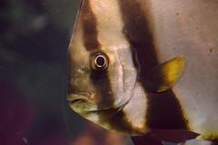 What? (Bad Alley (Cat)) Tags: fish aquarium ripleysaquarium underwater