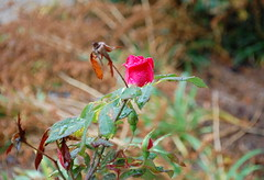 Rose In The Rain. (dccradio) Tags: lumberton nc northcarolina robesoncounty outside outdoors nature natural flower floral flowers flowergarden flowerbed rose roses rosebush rosegarden rain rainy water waterdroplets droplets raindrops dropletsofwater decemberrose winterrose leaf leaves greenery nikon d40 dslr bokeh