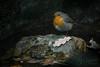 cock robin (Bart Hardorff) Tags: 2017 arnhem barthardorff theneherlands december erithacusrubecula roodborst robin europeanrobin cockrobin