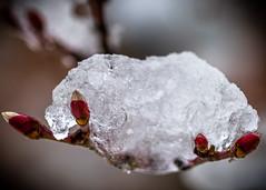 8134 (1 of 1) (sallyjane6) Tags: snow snowyday newlife buds winter bedford holly macro closeup