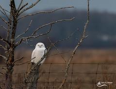 Snowy Owl (m) (Chris St. Michael) Tags: owl snowyowl birdofprey bird animal outdoors wildlife wildlifephotography nature naturephotography