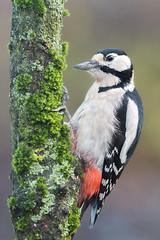 Dendrocopos major - Great spotted woodpecker (Mr.Dinkelman) Tags: canon eos 700d rebelt5i 200l f28 bird woodpecker specht buntspecht hide nocrop