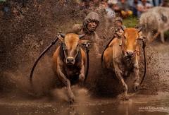 padang (sandilesmana28) Tags: bull race padang tanah datar west sumatera indonesia cultural traditional