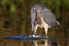 Funhouse Fish (gseloff) Tags: tricoloredheron bird feeding fish nature wildlife horsepenbayou pasadena texas kayakphotography archives gseloff