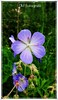 Sommergrüße 2017 (DM Fotografie) Tags: summer sommer flower blumen farben farbig schwarz weis wiese lila fotografie dmfotografie