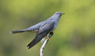 Cuckoo (Cuculus canorus).