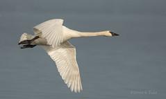 ND5_1886.jpg Bank & Roll (Wayne Duke 76) Tags: bird swan trumpeter feathers flight overwater