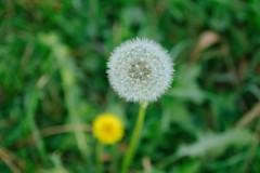 November Dandelions (Zeljko Stjepanovic) Tags: flowers dandelions november indiansummer nature park haldclut