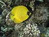 Poisson papillon jaune-Chaetodon semilarvatus (Denis Fiel) Tags: poissons safaga fish merrouge redsea