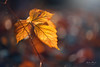 Leaves (Pásztor András) Tags: nature bokeh grape leaves dof sun light beam moddy forest ground red yellow colours dslr nikon sigma 70300mm d700 hungary andras pasztor photography 2017