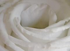 Macro White Rose 😁❤👧 (LeanneHall3 :-)) Tags: white macro macrotubes rose rosepetal closeup closeupphotography hull flower flowerarebeautiful flowersarefabulous flowerflowerflower canon 1300d