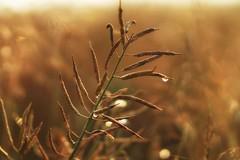 *** (pszcz9) Tags: przyroda nature natura zbliżenie closeup bokeh kropla waterdrop beautifulearth sony a77 samyang