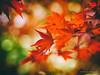 (Monica Muzzioli) Tags: red leaves bokeh autumn fall autunno rosso sfocato light blur