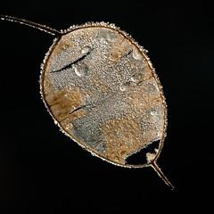 Winter is coming - eerste winterprik (de_frakke) Tags: seeds winter ripe cold winterprik judaspenning lunnaria zaaddoos seedpot