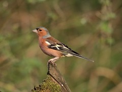 Chaffinch II (westoncfoto) Tags: