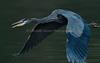DelValle_121017_085 (kwongphotography) Tags: delvalleregionalpark delvalle livermore calif ca birds wildlife nature wildlifephotography naturephotography kennethwongphotography kwongphotography greatblueheron heron birdsinflight unitedstates