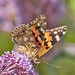 1591-_W4A9598 Painted Lady (Vanessa cardui)