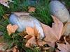 Automne... (LILI 296...) Tags: canonpowershotg7x caillou galet automne pierre feuilles
