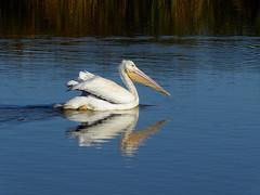 American White Pelican (Explored 11/11/2017) (timber1212) Tags: ebparksok coyotehills fremont california marsh bird american white pelican