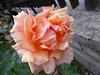 Happy Friday!!  P1030563 (amalia_mar) Tags: flowers flora rose autumn garden gavalou 7dwf