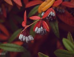e-lias-187 (e-lias hun) Tags: colors fall rgb leafs berry chaos nikon d7000 helios44m4 m42 vintagelens morning elias hungary