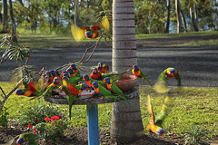 Action (crafty1tutu (Ann)) Tags: travel herveybay queensland crafty1tutu canon5dmkiii canon24105lserieslens anncameron animal bird rainbowlorikeet colourful naturescarousel tree naturethroughthelens