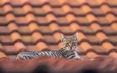 kittens (53) (Vlado Ferenčić) Tags: animals animalplanet vladoferencic catsdogs cats vladimirferencic zagorje hrvatska hrvatskozagorje roof croatia nikond600 nikkor8020028