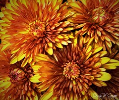 MUM'S THE WORD (CharlesSmithPhotography) Tags: closeup bouquet arrangement floral nature beautiful fall orange yellow blossoms petals chrysanthemums mums mum flowers flower