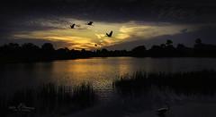 Birds at Sunset (Peter R. Howard) Tags: sunset crane birds water florida davesplace reeds sky clouds nikonflickraward tree bird lake explore