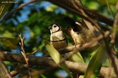 Double-barred Finch (jmck1989) Tags: birds avian wildlife aussielife doublebarredfinch finch birdnerd australia twitcher birdwatcher animals fauna