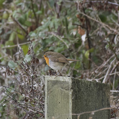 Rougegorge familier (xav.vergon) Tags: automne chantalbouteiller leteich oiseaux pointaf reserveornithologique réglageaf12 sortieornitho xaviervergon