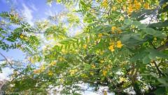 (muhasore) Tags: sony sonyalpha sonya6000 a6000 rokinon12mmf2 samyang12mmf2 tinguii parque park curitiba cwb brasil brazil outdoors outdoor flower yellow sky flor amarelo céu azul blue