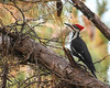 Pileated Woodpecker (ALF Papa (Mark)) Tags: tree vines berries elusive shy fast big black red white mississippi pine forest