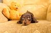 Bear essentials (cuppyuppycake) Tags: mymaisie smooth haired miniature dachshund maisie chocolate furry friends couch indoorpuppy dog animal pet puppy tricks shake hands portrait