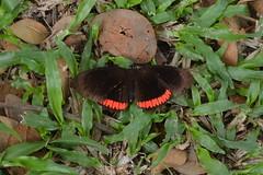 001-003 (2) Borboleta (agnaldo.severo) Tags: borboleta verde preto grama folhas inseto