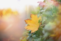 Peek-a-boo... (KissThePixel) Tags: light sunlight autumn autumnlight beautiful leaf goldleaf bokeh goldbokeh goldenbokeh golden macro nikon nikondf nikkor nikkor12 12 50mm november gold