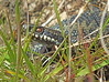European Viper (Vipera berus) (Alex Northey) Tags: adder european viper vipera berus snake venomous reptile europe uk united kingdom