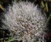 Dandelion (ryorii) Tags: gocce dentedileone tarassaco rugiada droplets droplet drop dew seeds seed snowball dandelion