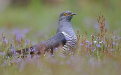 Common Cuckoo (oddie25) Tags: canon 5dmkiv 600mmf4ii cuckoo commoncuckoo birds birdphotography bird nature naturephotography wildlife wildlifephotography
