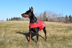 DSC_0065 (justinluv) Tags: achilles doberman dog dobe dobie dobermanpinscher eurodoberman canine