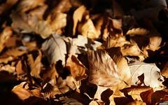 Les feuilles mortes se ramassent à la pelle (Missfujii) Tags: nature feuilles feuille automne automnale saison
