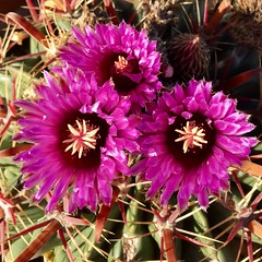 Thanksgiving Cactus Flowers (A Wild Western Heart) Tags: purple barrel flower cactus