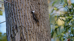 a treecreeper (Franck Zumella) Tags: bird oiseau hidden tree arbre color couleur light lumiere red bleu rouge blue green vert animal wildlife vie sauvage nature treecreeper grimpereau